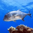 Giant Trevally, Caranx ignobilis on Great Barrier Reef — Stock Photo #22471245