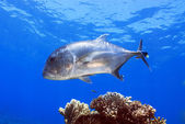 Giant trevally, caranx ignobilis op het great barrier reef — Stockfoto