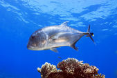 Giant Trevally — Stockfoto