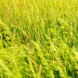 Summer background from a grass — Stock Photo