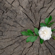 Royalty-Free Stock Photo: The white rose with leaves is located on an old stump