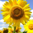 One big sunflower — Stock Photo