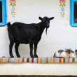 Stock Photo: Rural scene. Goat and cat on bench.