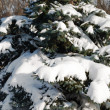 Stock Photo: Background from a fur-tree covered with snow
