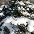 Background from a fur-tree covered with snow — Stock Photo #12118346