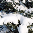Stock Photo: Background from fur-tree covered with snow