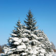 Winter landscape with fur-trees — Stockfoto