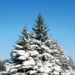 Winter landscape with fur-trees — Stock Photo