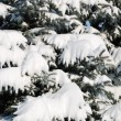 Background from a fur-tree covered with snow — Stock Photo #12118360