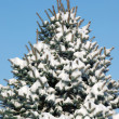 Background from a fur-tree covered with snow — Stock Photo
