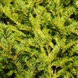 Fir tree background — Stock Photo #12118385