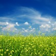 Yellow flower field with blue sky — Stock Photo