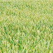 Green wheaten field — Stock Photo #12118695