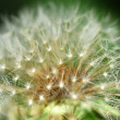Macro photo of a dandelion - Stock Photo
