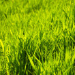 The sunlight shines a grass through — Stock Photo