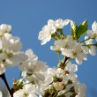 Cherry blossoms against blue sky — Stock Photo #12119610