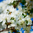 Cherry blossoms against blue sky — Stock Photo #12119619