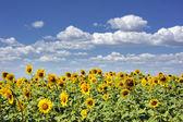 Ciel et champ de tournesols — Photo