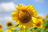 Big sunflowers and bees against the sky — Stock Photo