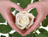 The white rose in woman hand — Stock Photo