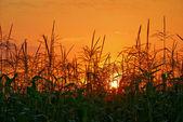Sunset in cornfield — Stock Photo