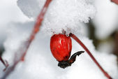 One eglantine at snow background — Stock Photo