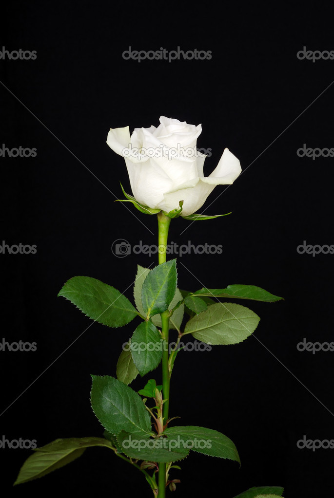 The white rose isolated on black background — Stock Photo #12118499