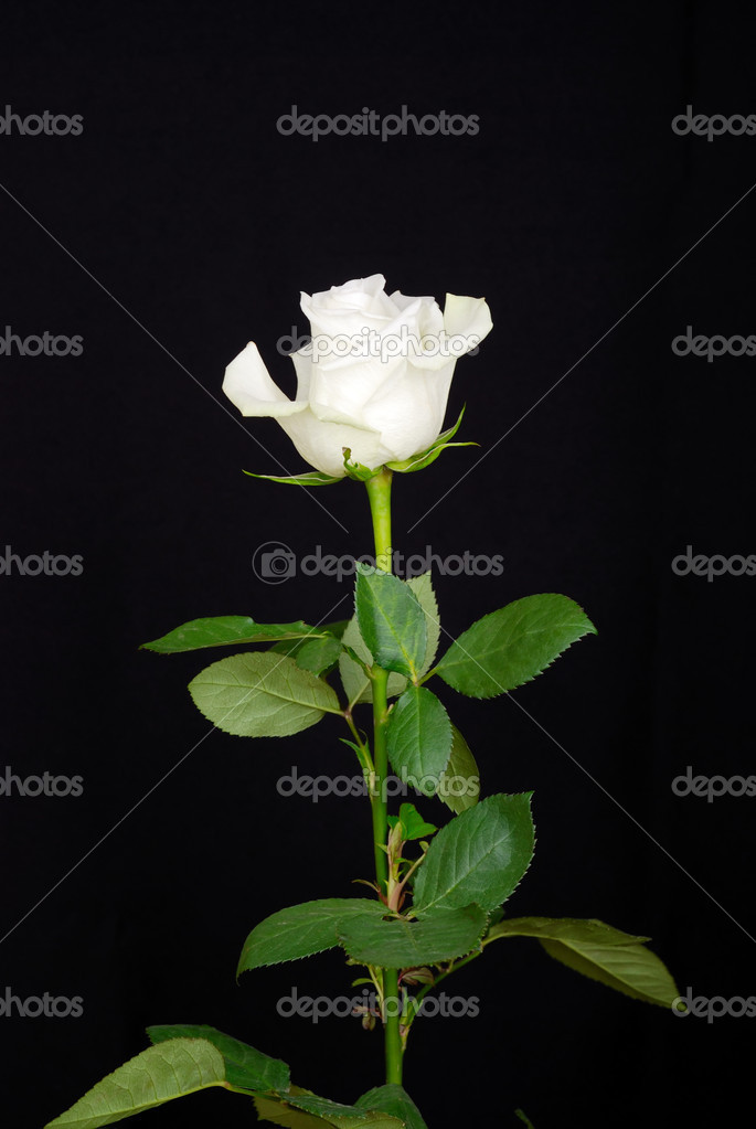 The white rose isolated on black background — Stock Photo #12118501