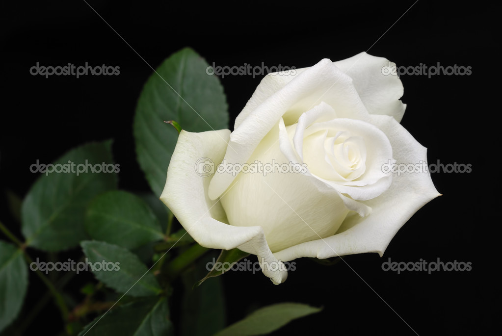 The white rose isolated on black background  Stock Photo #12118510