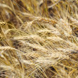 Drought on wheaten field — Stock Photo #12120636