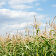 Young vegetation on a corn field — Stock Photo