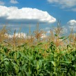 Young vegetation on a corn field - Stock Photo