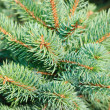 Branches of a natural fur-tree — Stock Photo #12120746