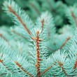 Branches of a natural fur-tree - Stock Photo