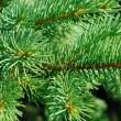 Branches of a natural fur-tree — Stock Photo #12120801