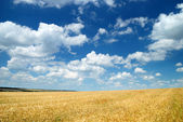 Wheaten field and the sky — Stok fotoğraf