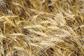Drought on a wheaten field — Stock Photo