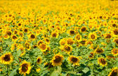 Sunflower field background — Stock Photo