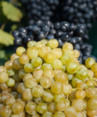 Grapes illuminated bright sunlight — Stock Photo