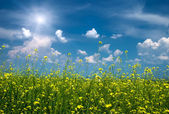 Bright yellow flower field with sunny sky — Stock Photo