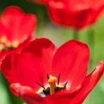 Bright red tulips — Stock Photo