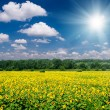 Stock Photo: Bright summer landscape. sunflower field and sky