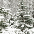Snowfall christmas tree in forest - Stockfoto