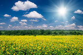 Bright summer landscape. sunflower field and sky — Foto de Stock