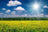 Helle sommerlandschaft. sonnenblumenfeld und himmel — Stockfoto