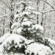 Snowy fir tree in forest — Stock Photo