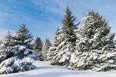 Snöiga träd — Stockfoto