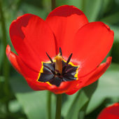 One bright tulip — Stock Photo