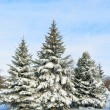 Snowy trees - Photo
