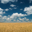 Wheaten field and dark sky — Stock Photo #23116746